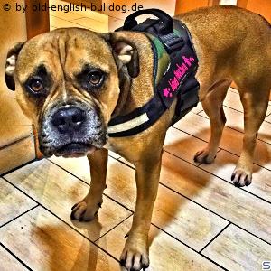 Accessoire für old-english-bulldogs