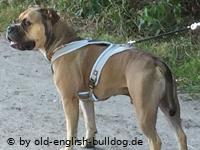 old-english-bulldog Hundegeschirr